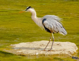 Heron on patrol